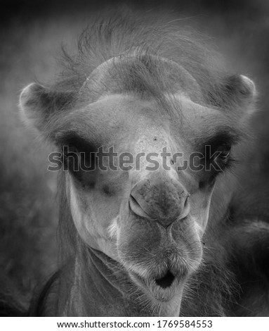 Camel  is an ungulate within the genus Camelus, bearing distinctive fatty deposits known as humps on its back. There are 2 species of camels: the dromedary l has a 1 hump, and the bactrian has 2 humps #1769584553