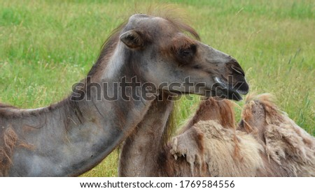 Camel  is an ungulate within the genus Camelus, bearing distinctive fatty deposits known as humps on its back. There are 2 species of camels: the dromedary l has a 1 hump, and the bactrian has 2 humps #1769584556