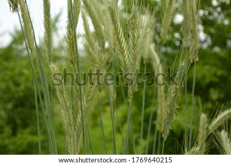 The rye green growing in the field. Rye ear close up. Secale cereale. Poaceae Family. The rye growing in the field. crops of Rye (Secale cereale) in the green ears phase. #1769640215