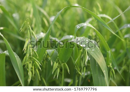 Young green oats on a field in rainy weather. Oat field on a background of blue sky and white clouds. Field of young green oats. The concept of a good harvest, agricultural industry. #1769797796
