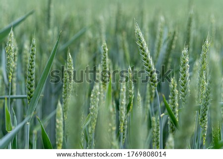 Close-up of green wheat on an agricultural field. Young wheat ears growing and ripening in organic cereal cultivation. Food staple for a healthy eating. Macro shot with background blur. #1769808014