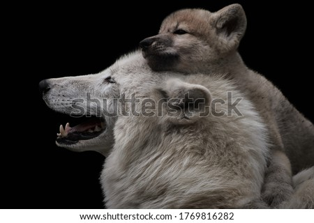 Mother's love between arctic wolf and cute female pup. Close-up of Canis lupus arctos isolated on black background. Cuddling wild animals. The young puppy feels secure on mother wolf's back. Royalty-Free Stock Photo #1769816282