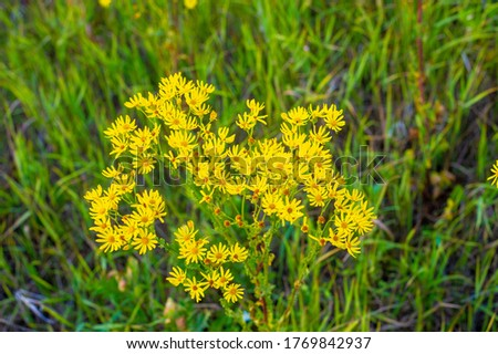 medicinal herbs with yellow flowers Hypericum, herb or shrub with characteristic yellow five-petal flowers and paired oval leaves, used in medicinal preparations for the treatment of various disorders #1769842937