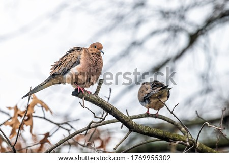 Mourning dove two birds sitting perched cleaning feathers puffed up on oak tree branch preening during winter closeup in Virginia #1769955302
