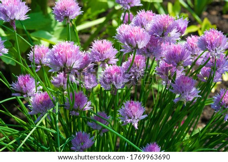 Chives, scientific name Allium schoenoprasum, A perennial plant, it is widespread in nature across much of Europe, Asia, and North America. The plant provides a great deal of nectar for pollinators. #1769963690