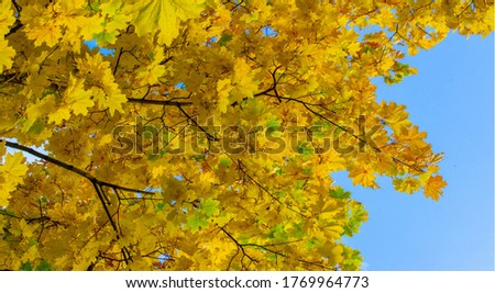 Autumn landscape of photography, Maple tree or shrub with lobed leaves, winged fruits, and colorful autumn foliage, grown as an ornamental or for its timber or syrupy sap. #1769964773
