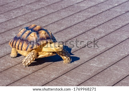 Turtle is walking on the street floor. Sea turtle crawling around the city. Fauna of the Pacific Ocean. Boxing turtle close-up. Concept - sale of feed for home reptiles. Fauna of Japan. #1769968271