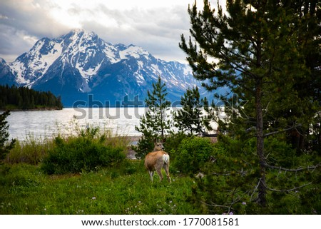 Mule deer grazing during evening time in grand teton national park. This was picture perfect moment with deer in foreground and tetons in background. GTNP 2020.
