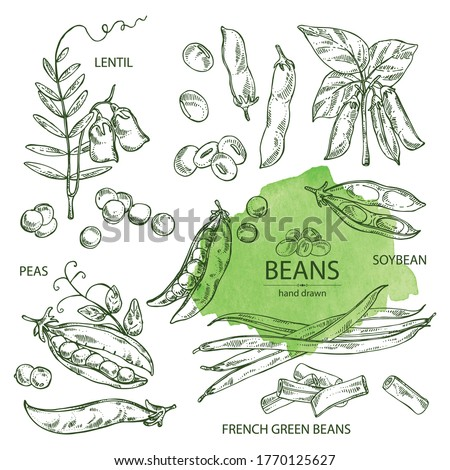 Collection of vegetables: soybean plant, peas pod, lettil beans and pod, french green beans. Vector hand drawn illustration. Royalty-Free Stock Photo #1770125627