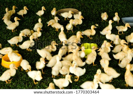 A motion blur picture of duckling moving in the cage. Duckling will be breed for its meat and high demand in Malaysia.