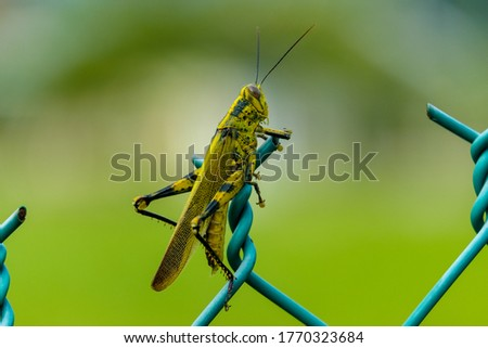 "A bokeh picture of ""belalang kunyit"" or Javanese grasshopper at the fence. It may destroy thousands acre of vegetable plantation and cause few million loss to small business farmer."