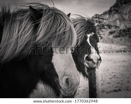 Black and white pic of icelandic horse in snow landscape, iceland