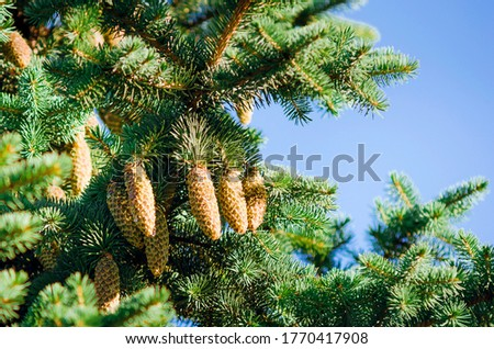 Green spruce, fir with cones and needles against the blue sky. Evergreen coniferous Christmas tree. Royalty-Free Stock Photo #1770417908