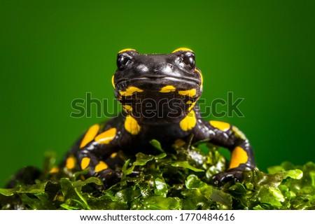 fire salamander standing in moss