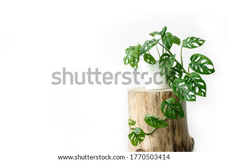 Beautiful Monstera flower in a white pot stands on a wooden stump on a white background. The concept of minimalism. Monstera Monkey Mask or Monstera obliqua in pot.  Royalty-Free Stock Photo #1770503414
