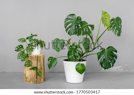 Monstera deliciosa and Monstera Monkey Mask in a white pots stands on a grey background. The concept of minimalism. Tropical leaves background. Stylish and minimalistic urban jungle interior. Royalty-Free Stock Photo #1770503417