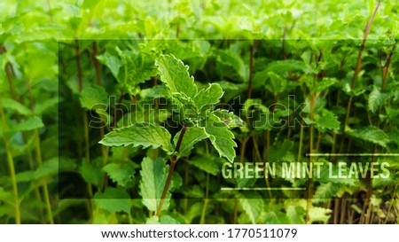 Green mint leaves gardening image with text and caption template and cover photo