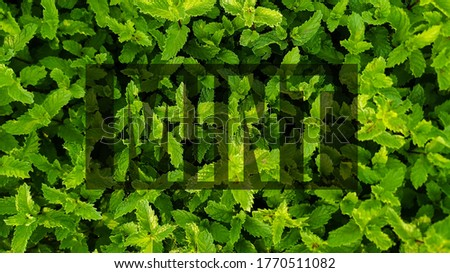 Green Mint Plant Grow Background. Green mint leaves gardening image with text and caption template and cover photo