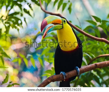 Beautiful keel-Bill toucan perching on the tree and crying Cartagena Colombia