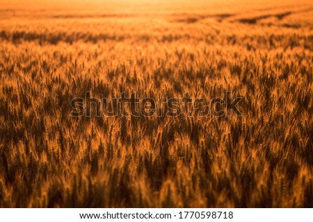 Wheat field in the golden glow of the setting sun. #1770598718