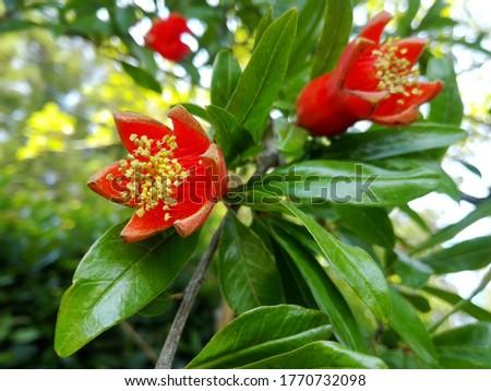 Pomegranate garnet fruit flower & leaf. Pomegranate plant red tropical flower on tree branch. Fresh garnet flower on foliage background. Natural pomegranate (garnet fruit) leaves close up macro garden #1770732098