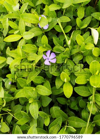 Vinca major, with common names periwinkle. periwinkle, periwinkle and periwinkle - a species of flowering plant of the family Apocynaceae. #1770796589