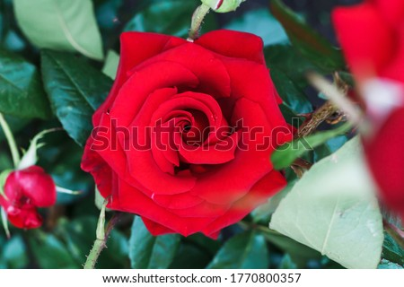 Bush red blooming rose. Growing roses. A lot of beautiful blooming roses. Buds of a yellow rose. Blooming rose bush. Blooms a lot of flowers. #1770800357