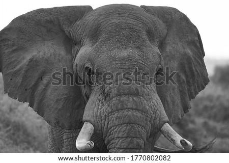 Elephant Big Huge Tusker Amboseli - Big Five Safari -Baby African bush elephant Loxodonta africana Black and white #1770802082