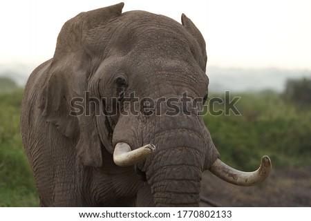 Elephant Big Huge Tusker Amboseli - Big Five Safari -Baby African bush elephant Loxodonta africana #1770802133
