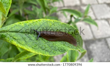 Close up picture from a slug on a green leaf from a butterfly tree (Buddleja davidii)