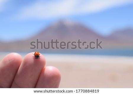 Ladybug close-up picture in the Atacama Desert, Chile.