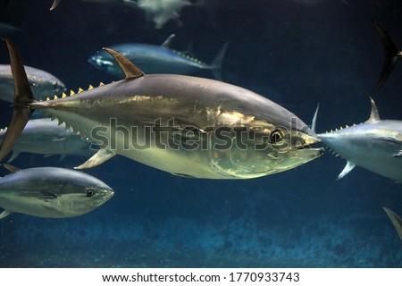 Pacific bluefin tuna (Thunnus orientalis) in Japan Royalty-Free Stock Photo #1770933743