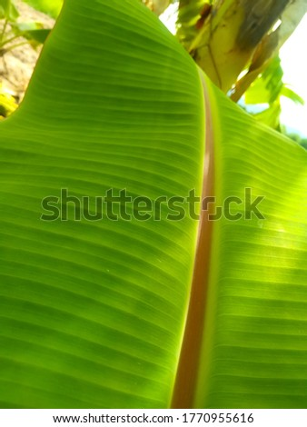 The nature of banana leaves. #1770955616