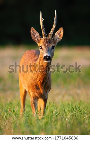 Interested roe deer, capreolus capreolus, buck standing on meadow in summer at sunset. Wild mammal staring on field from front view in vertical composition. Animal wildlife in nature. #1771045886