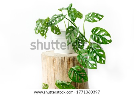Beautiful Monstera flower in a white pot stands on a wooden stump on a white background. The concept of minimalism. Monstera Monkey Mask or Monstera obliqua in pot.  Royalty-Free Stock Photo #1771060397