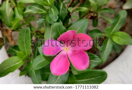 Catharanthus roseus, commonly known as bright eyes, Cape periwinkle, graveyard plant, Madagascar periwinkle, old maid, pink periwinkle, rose periwinkle. In Bangladesh, locally called Nayantara Flower. #1771111082