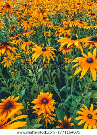 Bright rudbeckia flowers in the field with green leaves. Mobile photography of nature. Many flowers with black middles in the garden. Blossom herbs in summer time. Yellow chamomile alternative name.