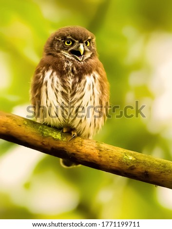 Beautifull picture of pygmy owl in wildlife