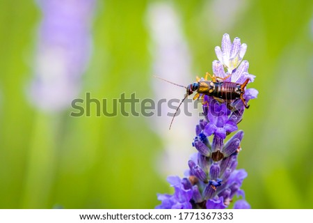 Common earwig (Forficula auricularia) on Lavender (Lavandula) in the garden