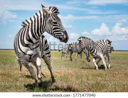 A running herd of zebras in a national biosphere reserve Askania-Nova, Ukraine Royalty-Free Stock Photo #1771477040