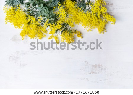 Beautiful Australian native yellow wattle/acacia flowers, frame the composition space from above, on a white rustic background. Know as Acacia baileyana or Cootamundra wattle. #1771671068