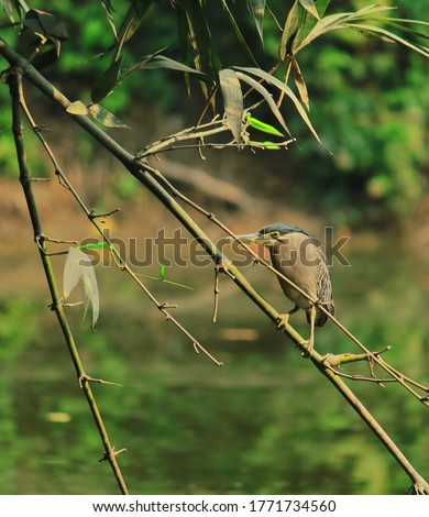 a striated heron or mangrove heron or little heron or green-backed heron (butorides striata) perched on a bamboo branch, looking for a prey in west bengal, india #1771734560