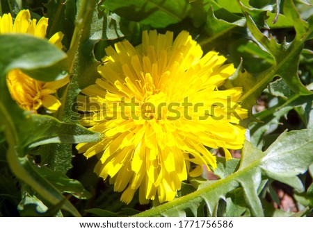 Blooming yellow dandelion flower. Field dandelion. Common wildflowers in a meadow. Macrophotography of a flower. The petals of a dandelion close up.