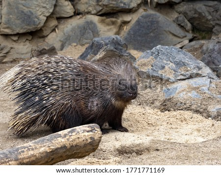 The Indian crested porcupine, Hystrix indica, is active predominantly at night, feeding on plants. He has black and white spines on the ridge.