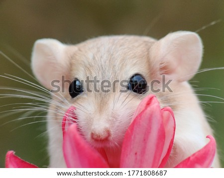Agerbilis a small mammal of the subfamily Gerbillinae in the order Rodentia Royalty-Free Stock Photo #1771808687