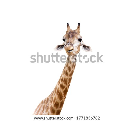 Small giraffe face isolated on white background , clipping path