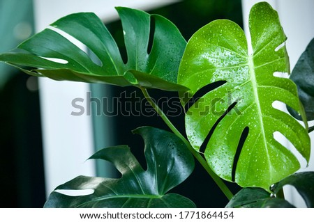 A leaf of Monstera interior decorations tropical planting in house ,  Monstera deliciosa new leaf rising in flowerpot Royalty-Free Stock Photo #1771864454
