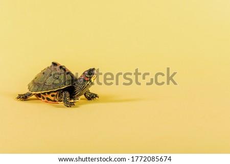 Turtle with yellow background Nature wildlife,animals