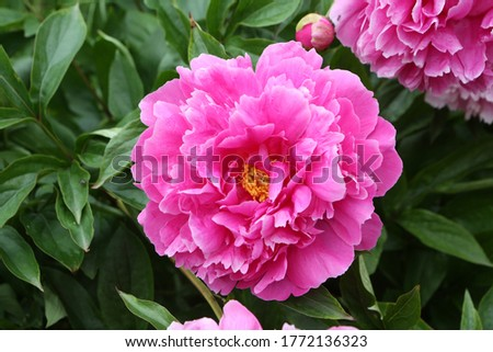 Peony. Macro photo of pink peony. Big pink flower in summer garden. Summer nature. Peony bloom. Peonies blossoming, peonies blooming. Closeup photo of flower. Wallpaper with pink spring flowers, peony
