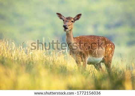 Fallow deer doe, dama dama, standing on field during the summer. Animal female ruminate feeding on wheat with blurred background . Wild mammal eating grain on farmland. Royalty-Free Stock Photo #1772156036